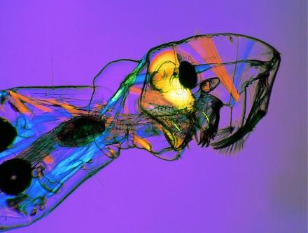 Phantom midge (Chaoborus) musculature