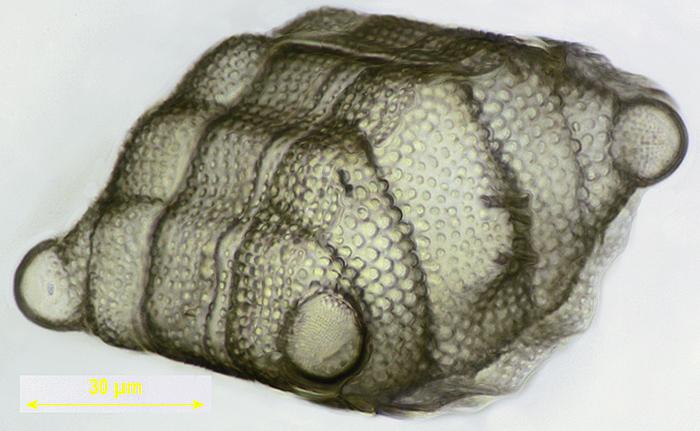 Biddulphia sp.