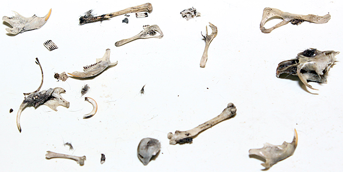 Bones from owl pellets