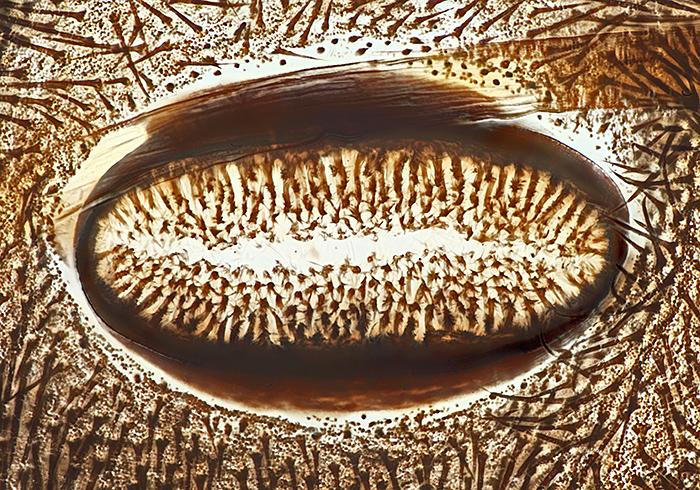 Spiracle of a cinnabar moth caterpillar