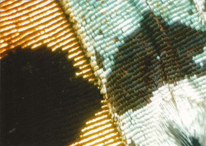 Chrysiridia ripheus wing pattern