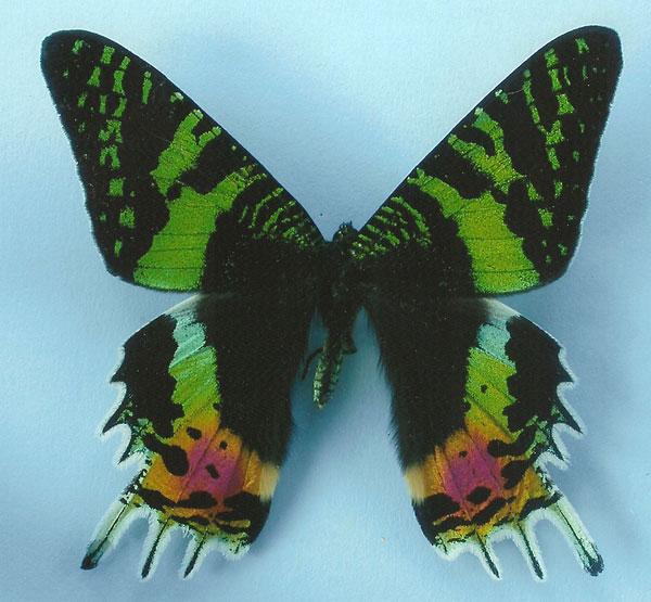 Chrysiridia ripheus adult