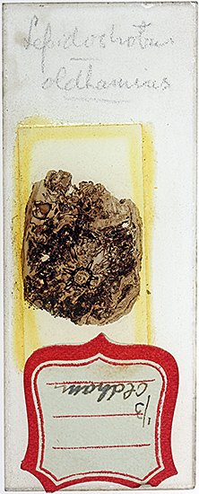 Slide of coal with plant fossils