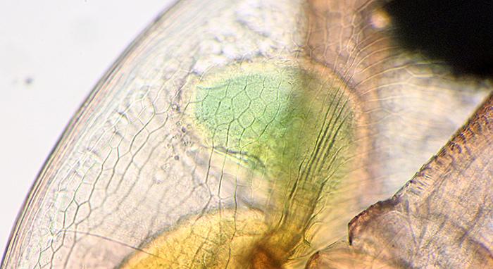 Daphnia blind caecum