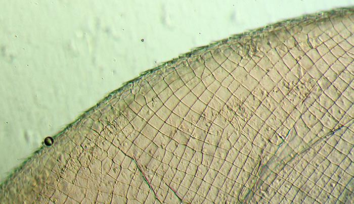 Daphnia cuticle