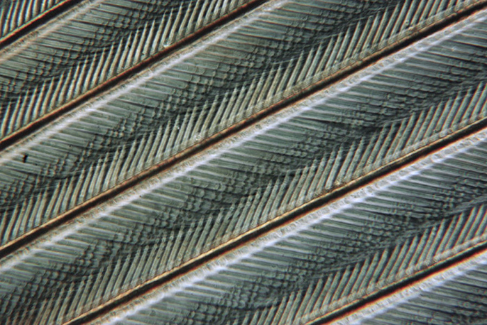 Partridge feather (single image)