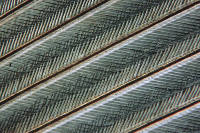 Partridge feather (single image)