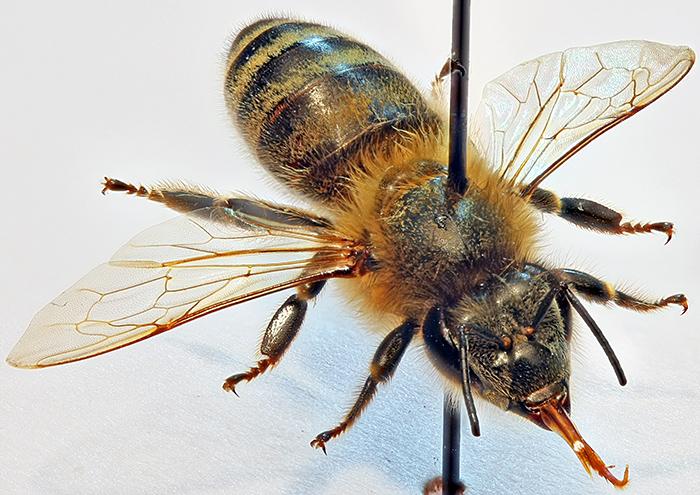 Set honeybee