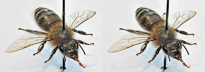 Stereoscopic pair of images of a honeybee for free viewing