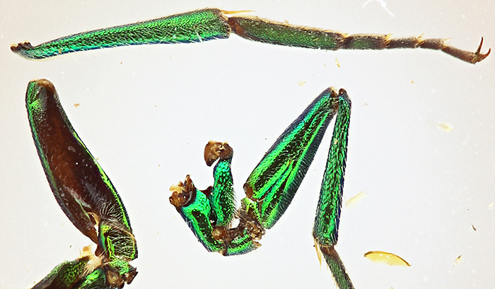 Iridescent legs of an African fly