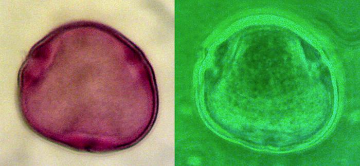 Pollen grain of lime