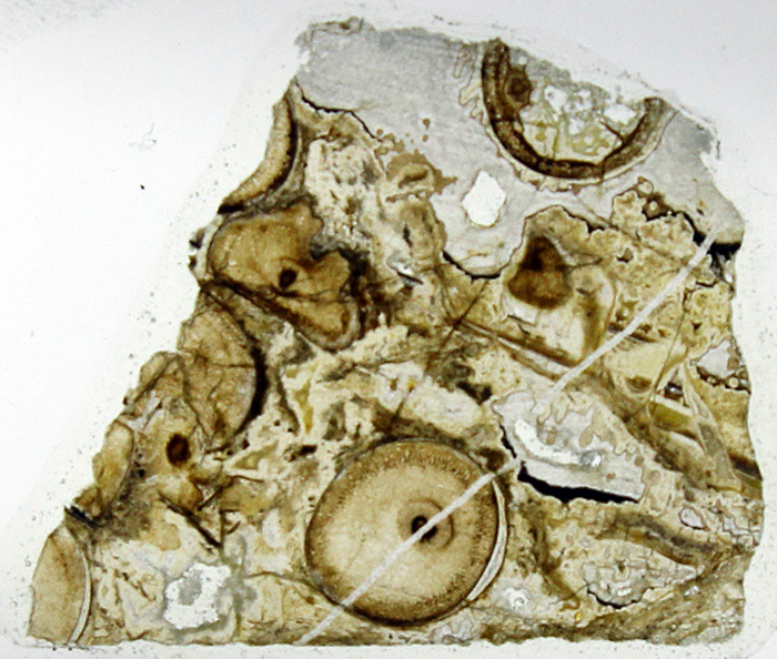 Section of Rhynie chert mounted on a slide