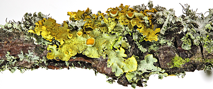 Lichen on pear twig