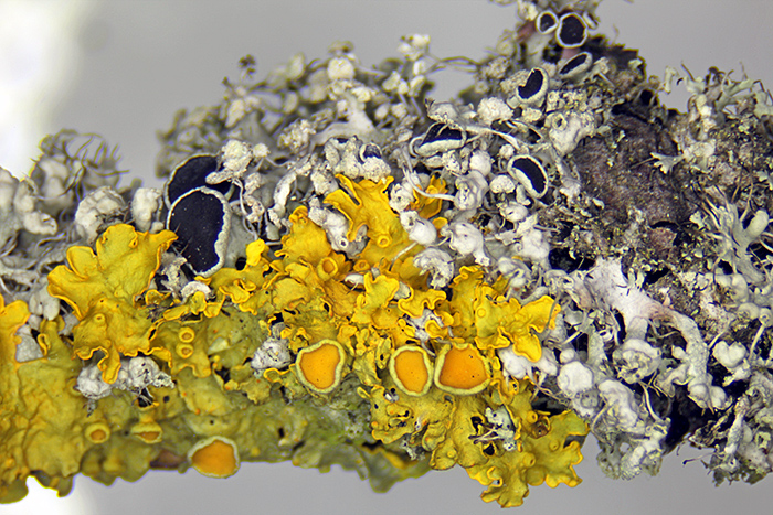 Lichen on pear twig (SZ4045)