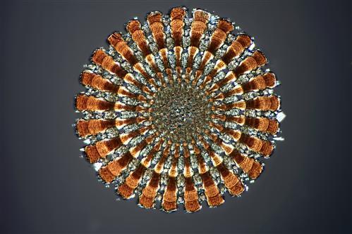 Sea urchin spine