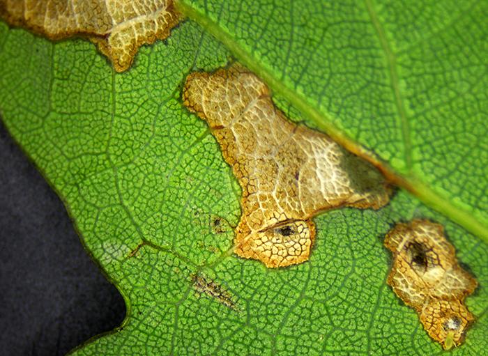 Leaf mines in an oak leaf