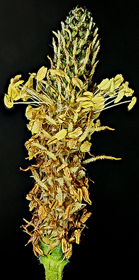 Plantain flower head