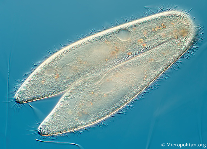Conjugating Paramecium, by Wim van Egmond