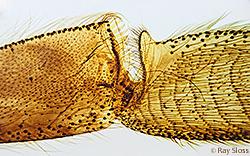 Corbicula (pollen basket) on hind leg of a bee
