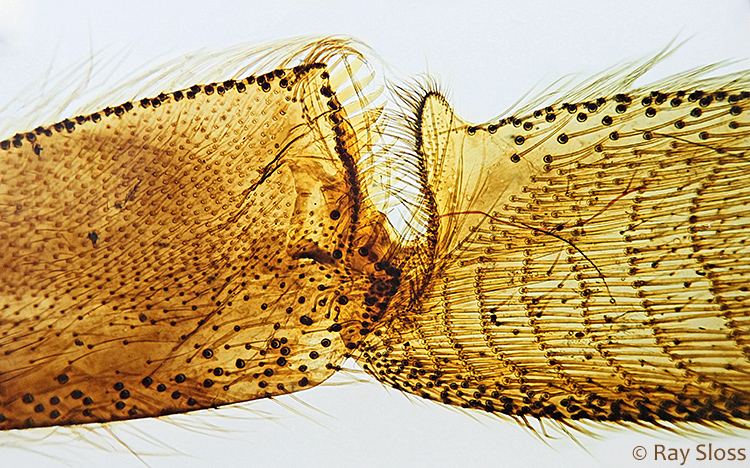 Corbicula (pollen basket) of a bee
