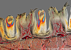 Papillae on the surface of a cat tongue