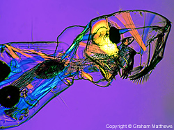 Musculature of phantom midge larva (Chaoborus sp.)