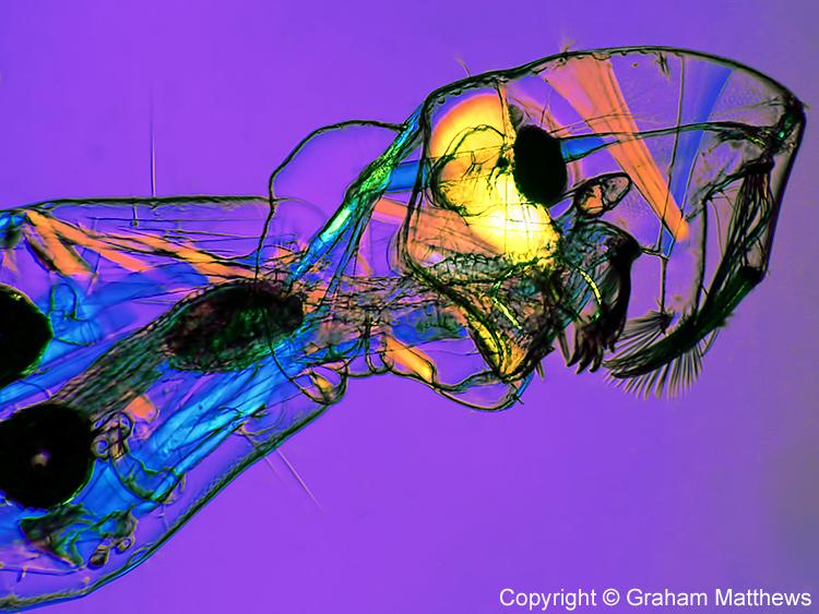 Phantom midge larva (Chaoborus sp.)