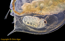 Baby Daphnia inside mother