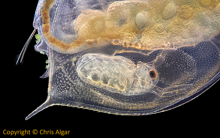 Baby Daphnia inside its mother
