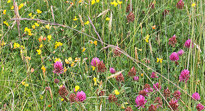 Red clover and trefoil