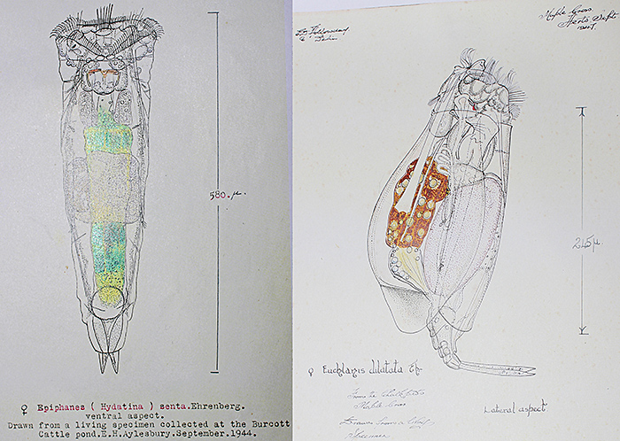 Rotifer drawings by Eric Hollowday