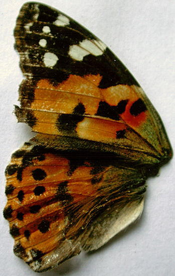 Painted lady upper wings
