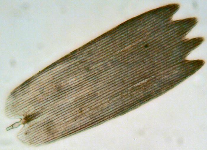 Single scale from eyespot