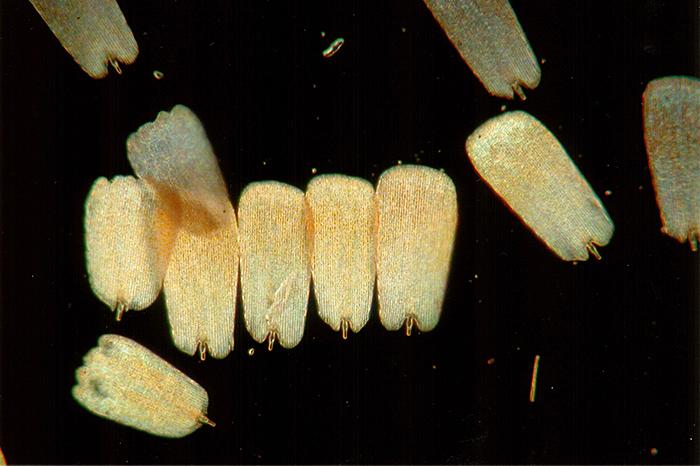Upper surface scales (dark ground)