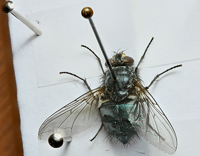 Pinned fly
