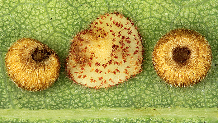 Silk button spangle and common spangle galls