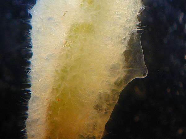 Sponge gemmule 4