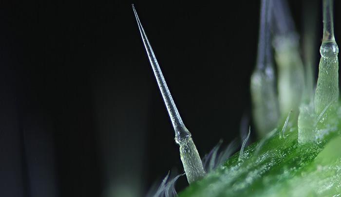 Stinging nettle hair