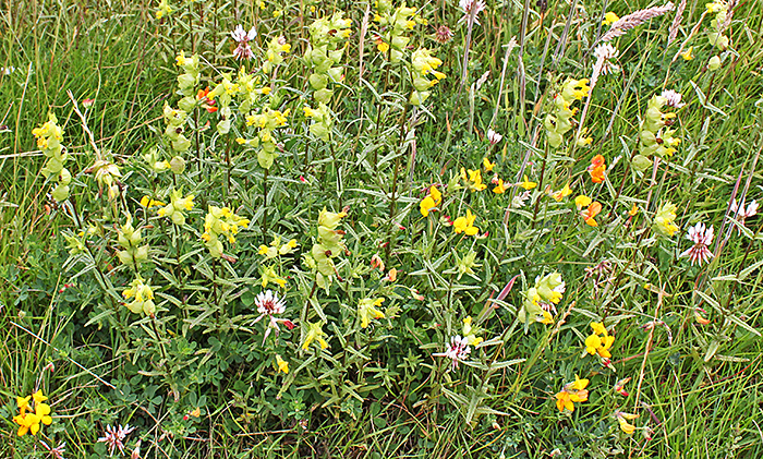 White clover, yellow rattle and trefoil