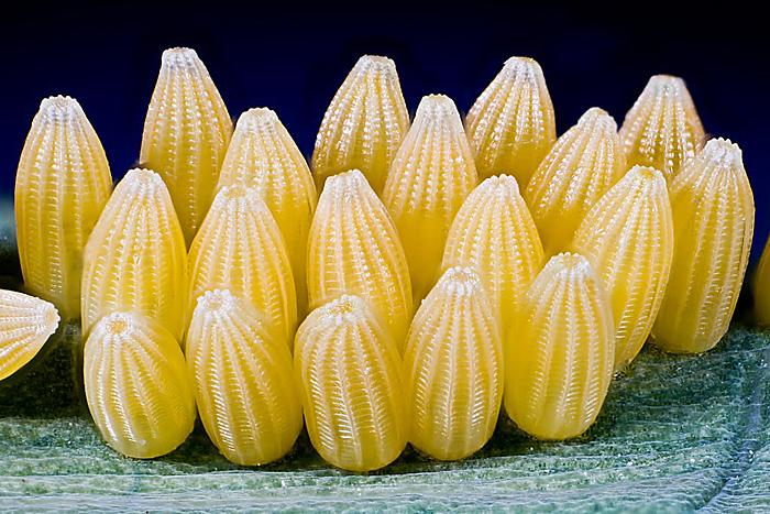 Cabbage white eggs