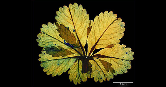 Potentilla leaf (home slider)
