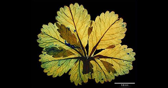 Potentilla leaf (home slider)