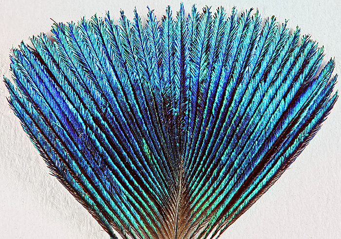 Feather from corona of a peacock, best viewed under a stereomicroscope
