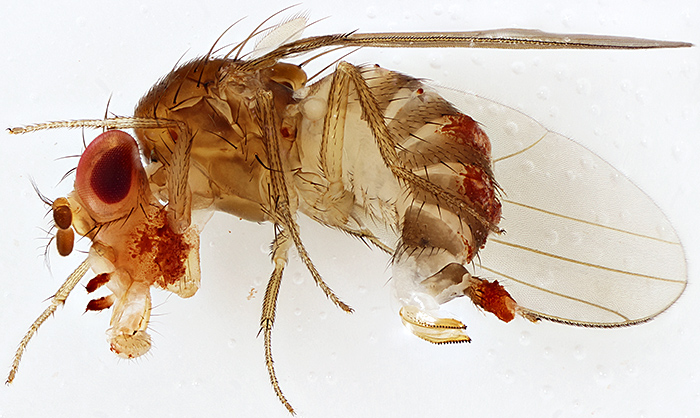 Female of Drosophila suzukii