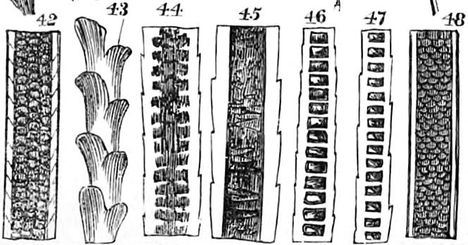 M. C. Cooke hair diagrams
