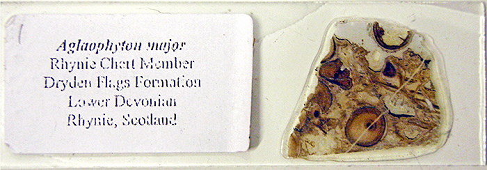 Slide of Aglaophyton major in Rhynie chert