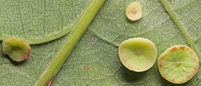 Smooth spangle galls on oak leaf