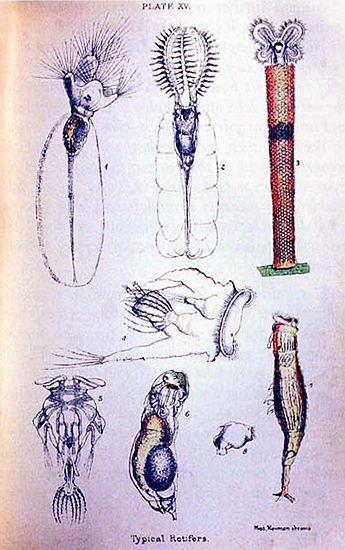 Rotifers, Plate 15 from Carpenter