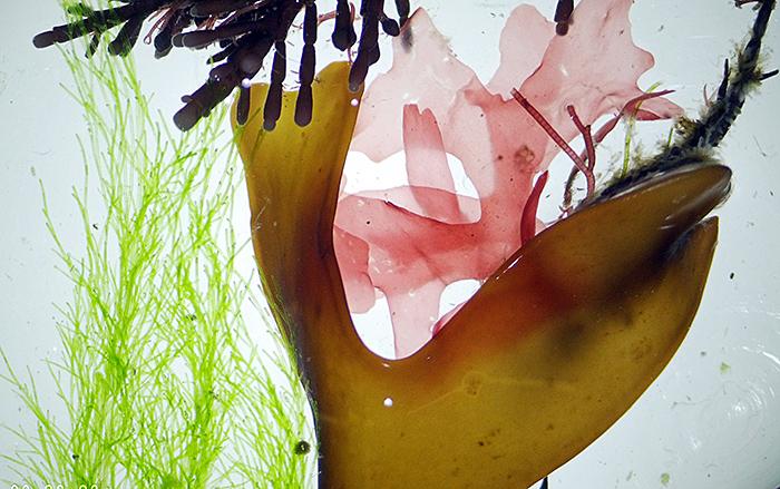 Colourful fringe seaweeds