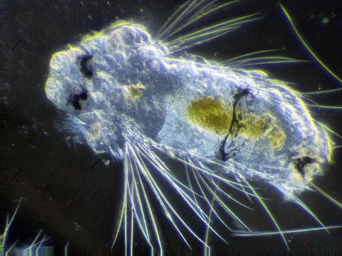 Polychaete larva of Polydora